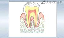 歯の構造(動画)